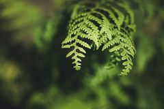 Bracken leaves and plant in woodland Royalty Free Stock Image