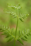 Bracken (Pteridium aquilinum) in Green Forest Stock Images