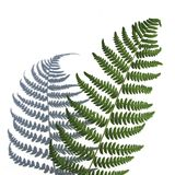 Bracken on a white Royalty Free Stock Photos