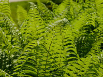 Bracken Royalty Free Stock Photo