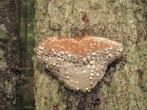 Bracket fungi Stock Photos
