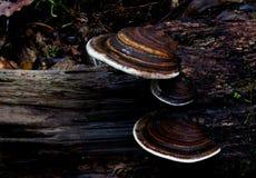 Bracket Fungi. Royalty Free Stock Photo