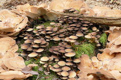 Bracket fungi in a circle Stock Photography
