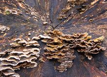 Bracket Fungi on a dead tree Stock Photo