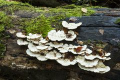 Bracket Fungi Stock Photos
