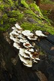 Bracket Fungi Stock Image
