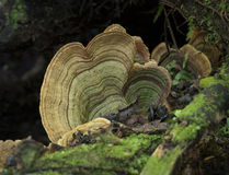 Bracket Fungi Royalty Free Stock Images