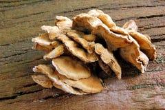 Bracket fungi Royalty Free Stock Images
