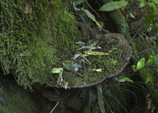 Bracket fungi Royalty Free Stock Photography