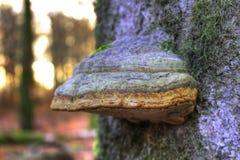 Bracket fungi or shelf fungi Royalty Free Stock Image