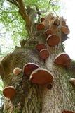 Bracket fungi on a tree Stock Images