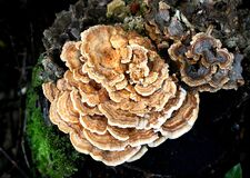 Bracket fungi (Clavaniaceae) Royalty Free Stock Photo