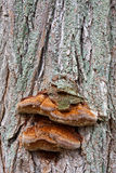 Bracket Fungus Stock Photo