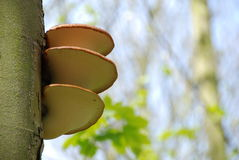 Bracket Fungus Royalty Free Stock Photos