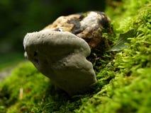 Bracket fungus Royalty Free Stock Photo