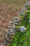Bracket fungus on bark Stock Photography