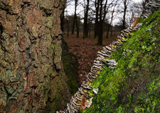 Bracket fungus on bark Royalty Free Stock Images