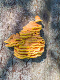 Bracket fungus Stock Image