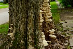 Bracket Fungus Royalty Free Stock Image