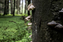 Bracket fungus growing from the stump of a dead beech tree Forest germany bokeh background Stock Photo