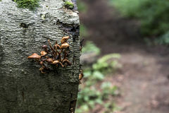 Bracket fungus growing from the stump of a dead beech tree Forest germany bokeh background Stock Images