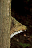 Bracket fungus growing from a tree trunk Stock Image