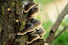 Bracket fungus mushrooms on the tree stock images