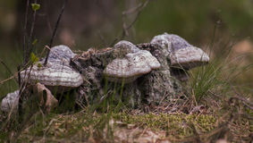 Bracket Fungus in Polish forest Stock Photo