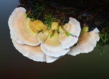 Bracket Fungus, Polypore Stock Photo