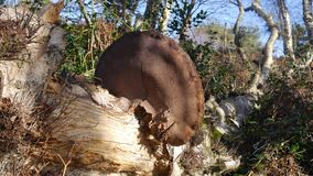 Bracket fungus on a rotting tree in a woodland in England. Large bracket fungus on a fallen tree that lies rotting in a woodland in England Stock Photography