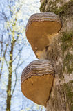 Bracket fungus Royalty Free Stock Images