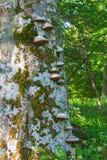 Bracket fungus on tree trunk Stock Photo