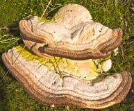 Bracket fungus Royalty Free Stock Image