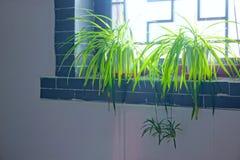 Bracket plant. Two bracket plant on windowsill. Scientific name: Chlorophytum comosum stock images