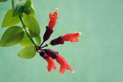 Bracketplant flower Stock Photography