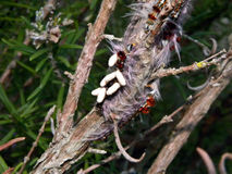 Braconid Wasp infested Lappet Moth Caterpillar 3 Stock Photos