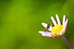 Braconid wasps Royalty Free Stock Photo