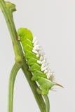 Braconidwesp coccons op larven Stock Afbeeldingen