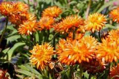 Bracteantha bracteata `Mohave Orange` Royalty Free Stock Photography
