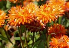 Bracteantha bracteata `Mohave Orange` Stock Photos