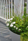 Bracteatum blanc de Strawflowers Xerochrysum Images libres de droits