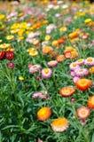 Bracteatum del Helichrysum Imagen de archivo libre de regalías