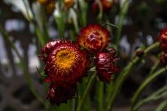 Bracteatum-frische Schnittblumen des Helichrysum stockbilder