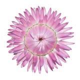 bracteatum helichrysum odizolowywający różowy strawflower Zdjęcie Royalty Free