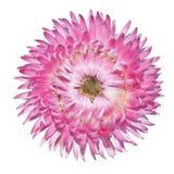 bracteatum helichrysum odizolowywający różowy strawflower Obrazy Stock