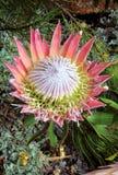 Bracts και λουλούδια Protea βασιλιάδων cynaroides ανοικτά Στοκ Εικόνα
