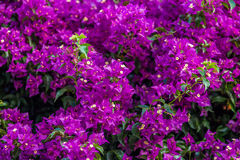 Bracts of bougainvillea glabra Stock Images
