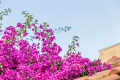 Bracts of bougainvillea glabra. Fuchsia and purple bracts of bougainvillea glabra Stock Images