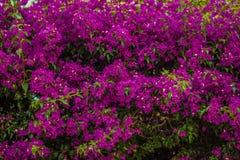 Bracts of bougainvillea glabra. Fuchsia and purple bracts of bougainvillea glabra Royalty Free Stock Photos
