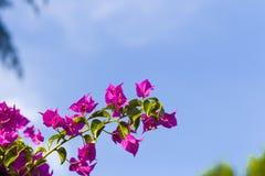 Bracts of bougainvillea glabra. Fuchsia and purple bracts of bougainvillea glabra Stock Photography